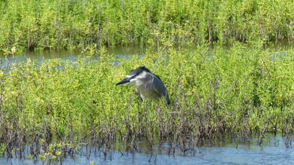 Kealia Pond Bird