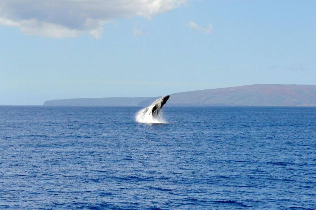 Humbback Whale, desicamera (CC BY 2.0)