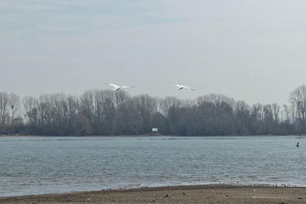 Fliegende Schwäne überm Rhein bei Oppenheim