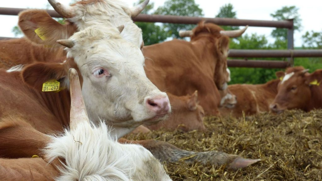 Selztalwanderung: Rinder zwischen Köngernheim und Selzen