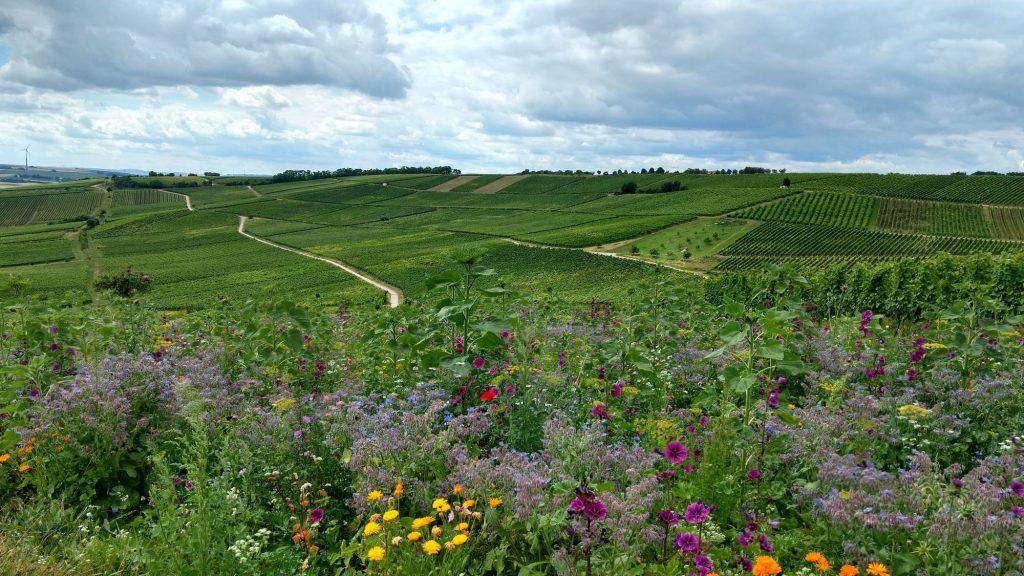 In den Weinbergen über Selzen - #Wandern in...