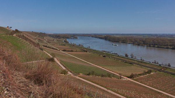 Rhein bei Nierstein: Schönste Weinsicht am Rhein (Brudersberg)