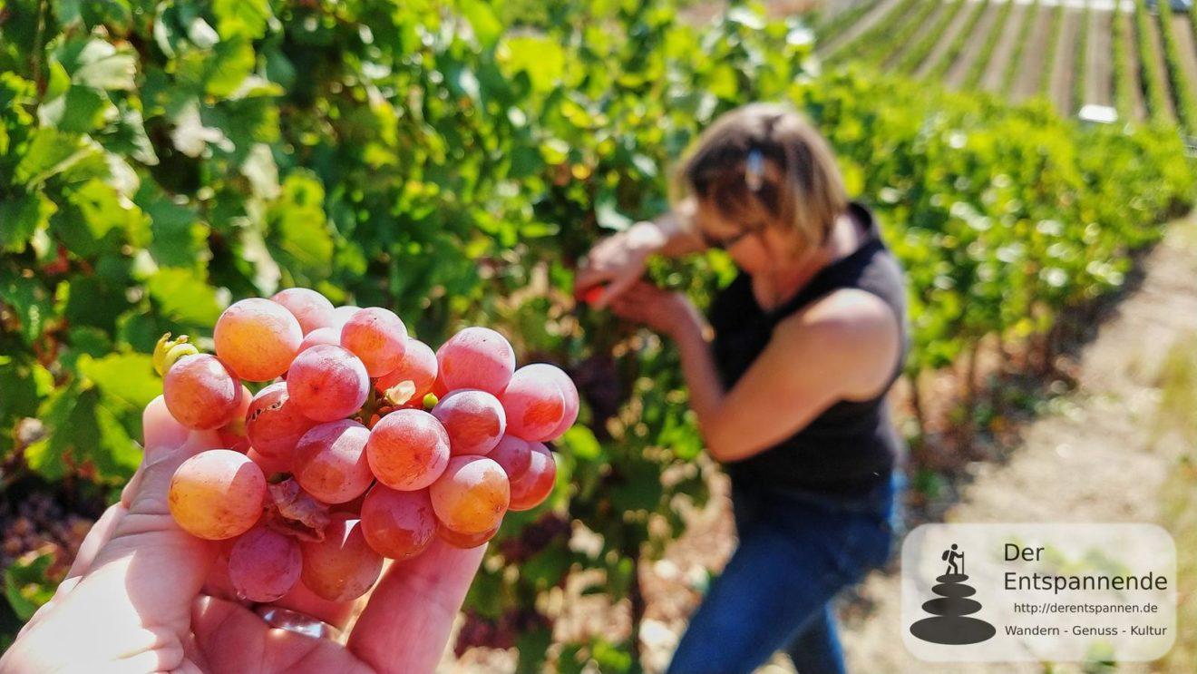 Roter Traminer (lecker!): Weinlese mit dem Wilmshof aus Selzen