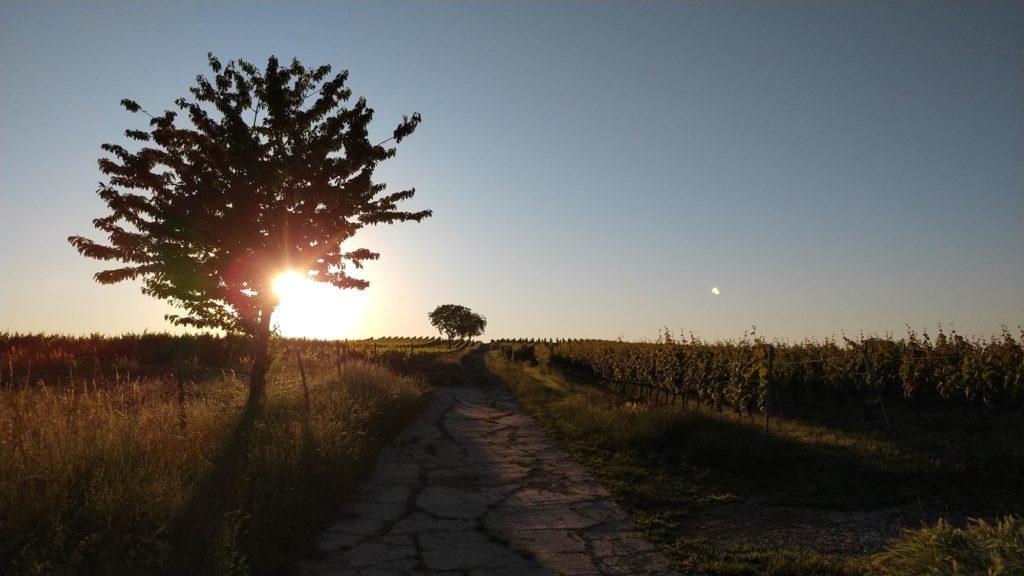 #SunriseRun in den Weinbergen über Selzen