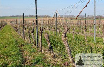Rebschnitt in den Weinbergen über Selzen (Selzbogen im März)