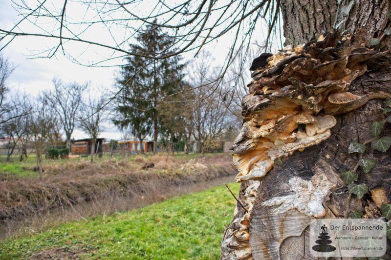 Pilz am Baum an der Selz (Canon EOS M50, EF-M 15-45mm f/3.5-6.3 IS STM, Manuell, Entfernung 0,77 m, 1/100 sek @ f/4.5, ISO 100, EV 0, Brennweite 15 mm)