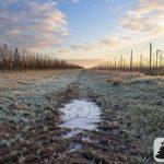 Wintermorgeni n den Weinbergen über Selzen