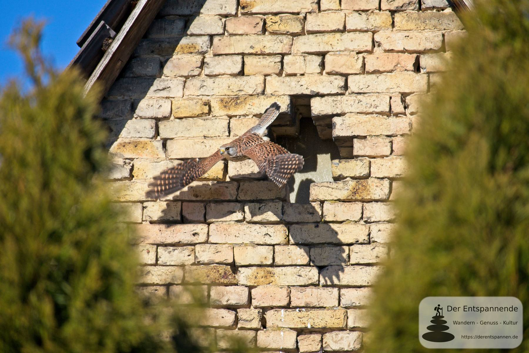 #Fotomontag 21/7 Turmfalken-Saison in Selzen eröffnet