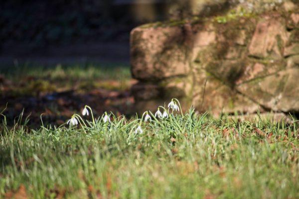 Schneeglöckchen auf dem alten Friedhof Selzen
