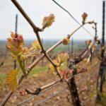 Frühling in den Weinbergen von Rheinhessen (klassischer Rebschnitt)